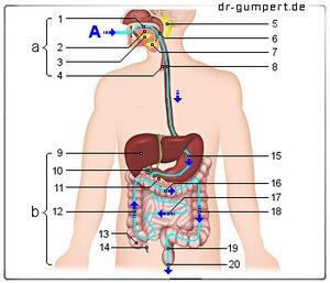 zwölffingerdarm anatomie
