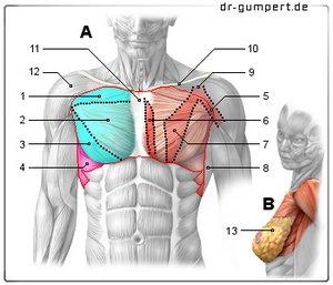 Gezogener Muskel im Brustbereich