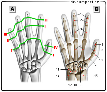 Die Finger- und Daumengelenke – Anatomie der oberen Extremität