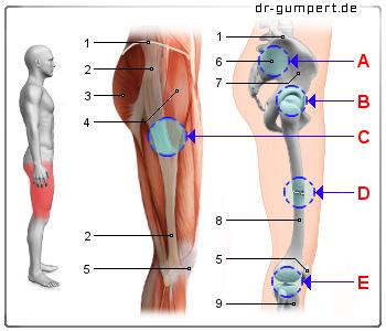 Schmerzen im vorderen Oberschenkel – Oberschenkelschmerzen vorne, hinten, außen, innen