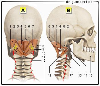 Anatomie Hinterkopf