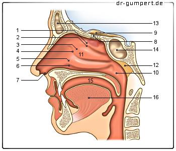 Nasenschleimhaut