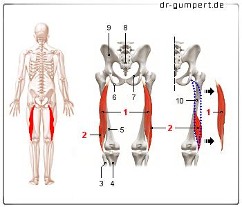 Abbildung Musculus bic...