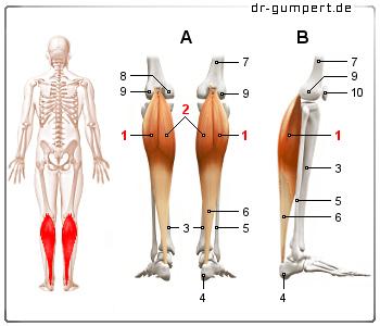 Muskelzerrung Wade