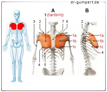 Schmerzen Brustmuskel