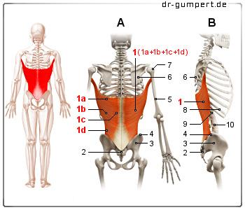 Breiter Rückenmuskel