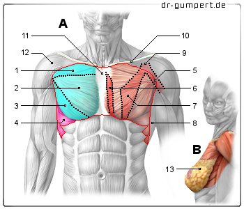 Abbildung Brustmuskulatur: A-Muskeln der vorderen Brustwand und B ...