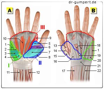 Muskeln Hand