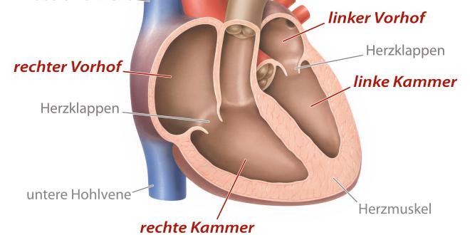 rechte Herzkammer