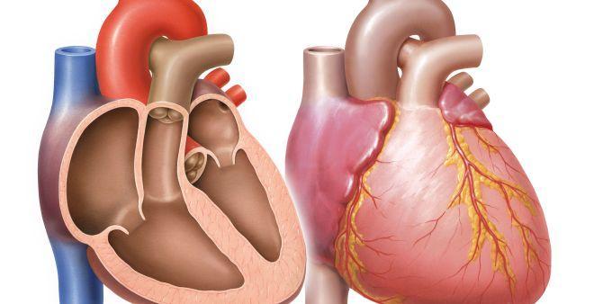linke Herzkammer