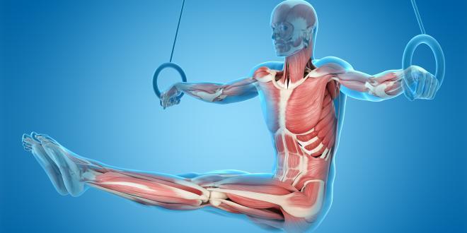 Übersicht Muskulatur