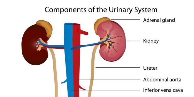 Funktion der Niere