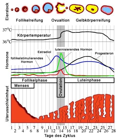 Zyklus Nach Pille Absetzen Berechnen