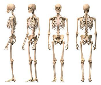 Knie anatomie latein
