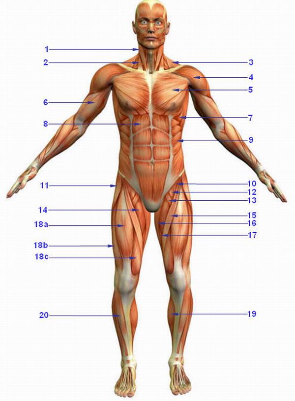 Zur Übersicht rückseitige Muskeln