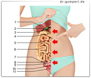Organe Bauch