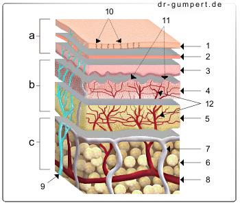 Abbildung aufbau der unbehaarten haut leistenhaut räumliches