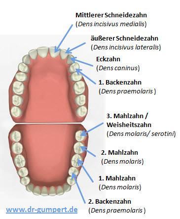 Hunde und erwachsene Zähne