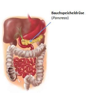 Bauchspeicheldrüse Anatomie Und Erkrankungen