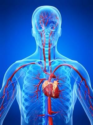 Gefäßversorgung des Herzens