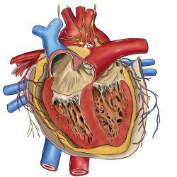 Verdickter Herzmuskel Lebenserwartung